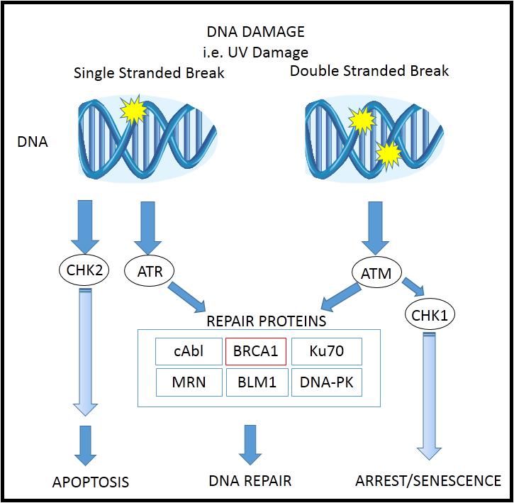 BRCA pathway